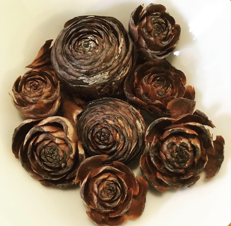 Cedar roses (cones of the Himalayan cedar) found in their hundreds in @GrangewoodPark today: