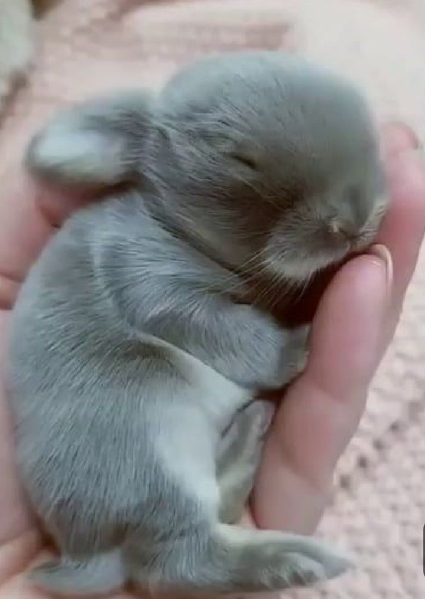 A handful of #cute.             Just because...                         #baby #bunny #fluffypic.twitter.com/4eeWhXIfyE