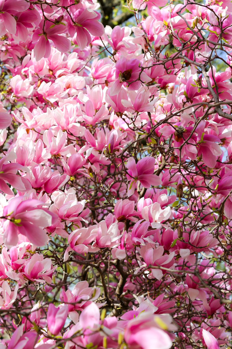 RT @AnnTran_: Happiness held is the seed; happiness shared is the flower.  🍃🌸🍃 John Harrigan #Magnolia #WashingtonDC #Travel