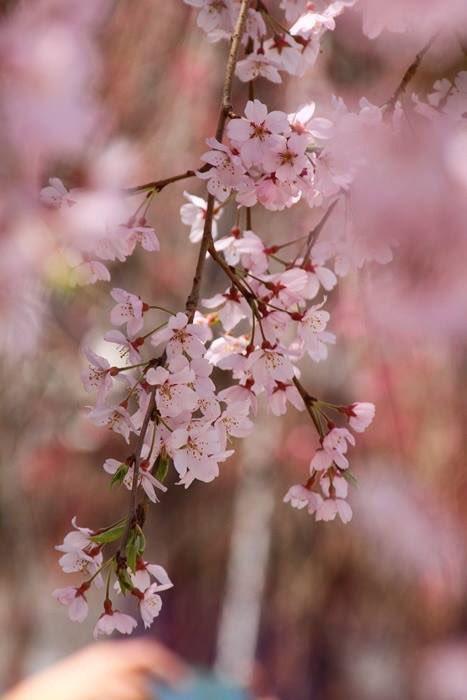 今日もお疲れ様でした  複雑な心境で帰宅なうw ずっと仲良くしてくれるお友達にはほんと感謝しか無いです 友達がいるから多少のショックも乗り切れそうです  負けないからね  今日の写真じゃないけど今年は撮りに行けなかったところです  #桜 #東京 #東京タワー pic.twitter.com/r5UduiXNCW