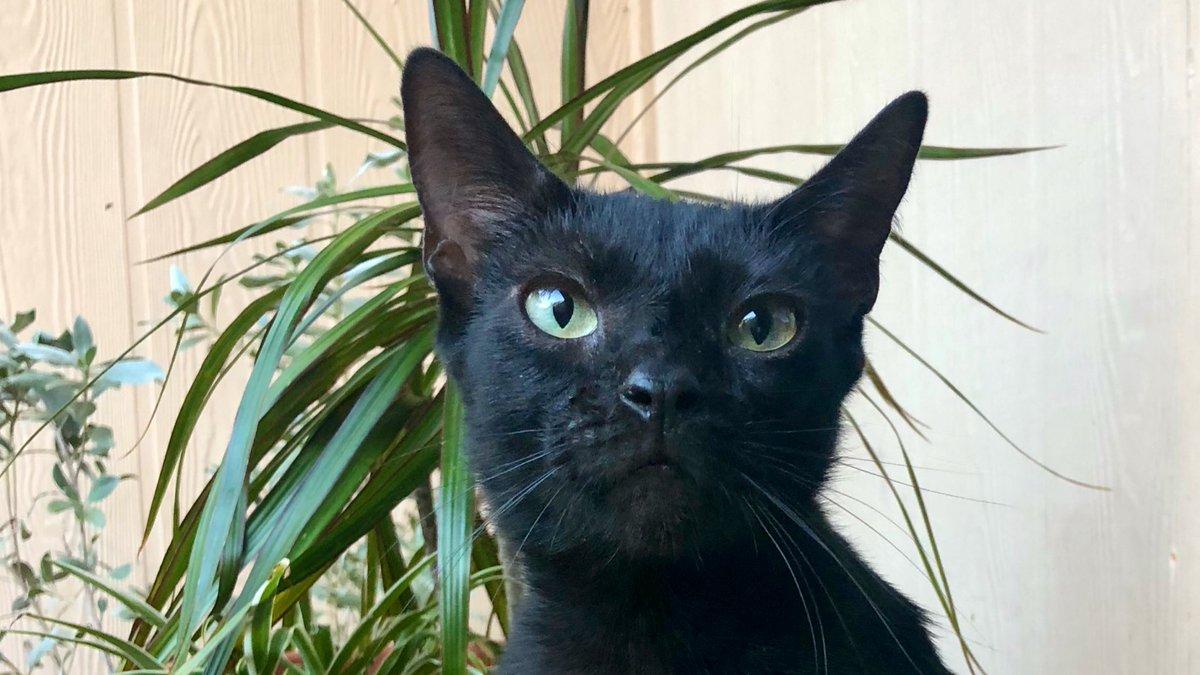 Jungle panther in my courtyard.  #StaySafeStayHome #SundayMorning #SundayFunday #CatsOfTheQuarantine #CatsOfTwitter #catsofinstagram #cat #cats #gatopic.twitter.com/Ic2VkkBTtM