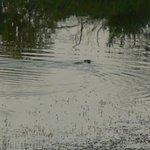Image for the Tweet beginning: Beaver Bummer at GCC just