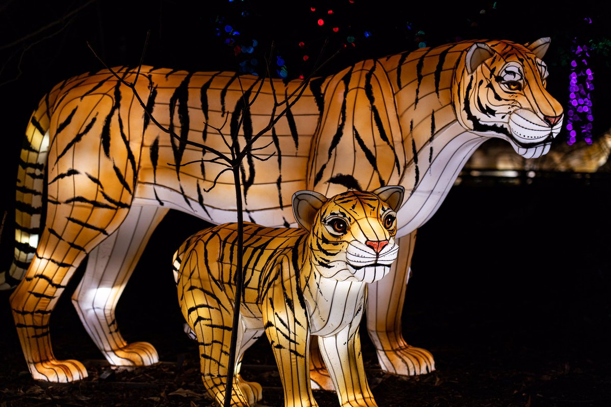 Taking the time to go through my pictures from last year. We loved the new lights at Zoo Lights 2019! #smithsonianzoo #smithsonian #smithsoniannationalzoo #washingtondc #photography #zoolights #zoolights2019 #tigers #yourshotphotographer @smithsonianzoo @smithsonian