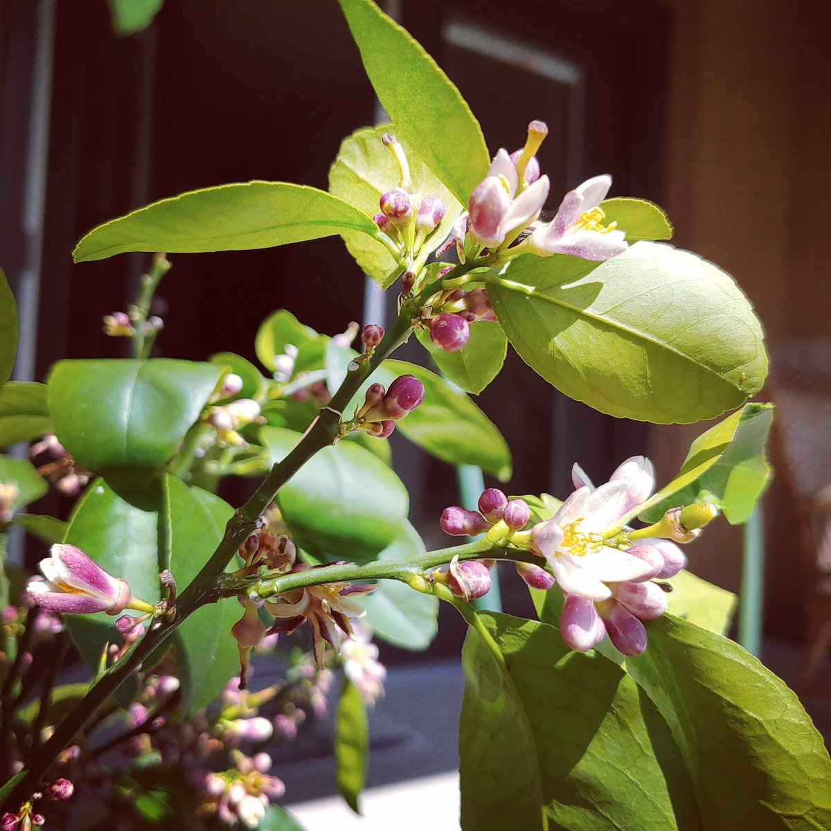 Citrus blooms and lemon blossoms! With all the craziness going on I just want to say Spring is in the air, and it is as beautiful a day as ever!   #spring2020 #springisintheair #spring #springweather #plants #lemmontree #meyerlemon #lemonblossom #lemons #nature #beautifulpic.twitter.com/3ECB75XxoJ