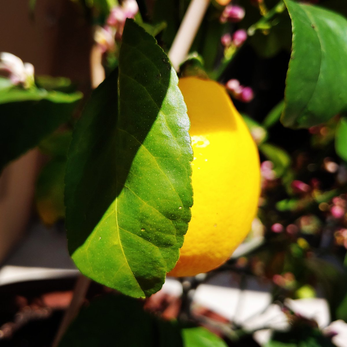 Happy Spring #2  #spring2020 #springisintheair #spring #springweather #plants #lemmontree #meyerlemon #lemonblossom #lemons #nature #beautifulpic.twitter.com/g16uJM4Nwu