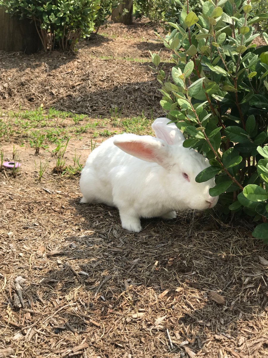 Sniffing the bushes, making sure they are healthy. #rabbit #rabbits #rabbitlife #bunny #bunnies #bunnyrabbit #bunnylife #pet #pets #cutepic.twitter.com/bCLeCWO5Li
