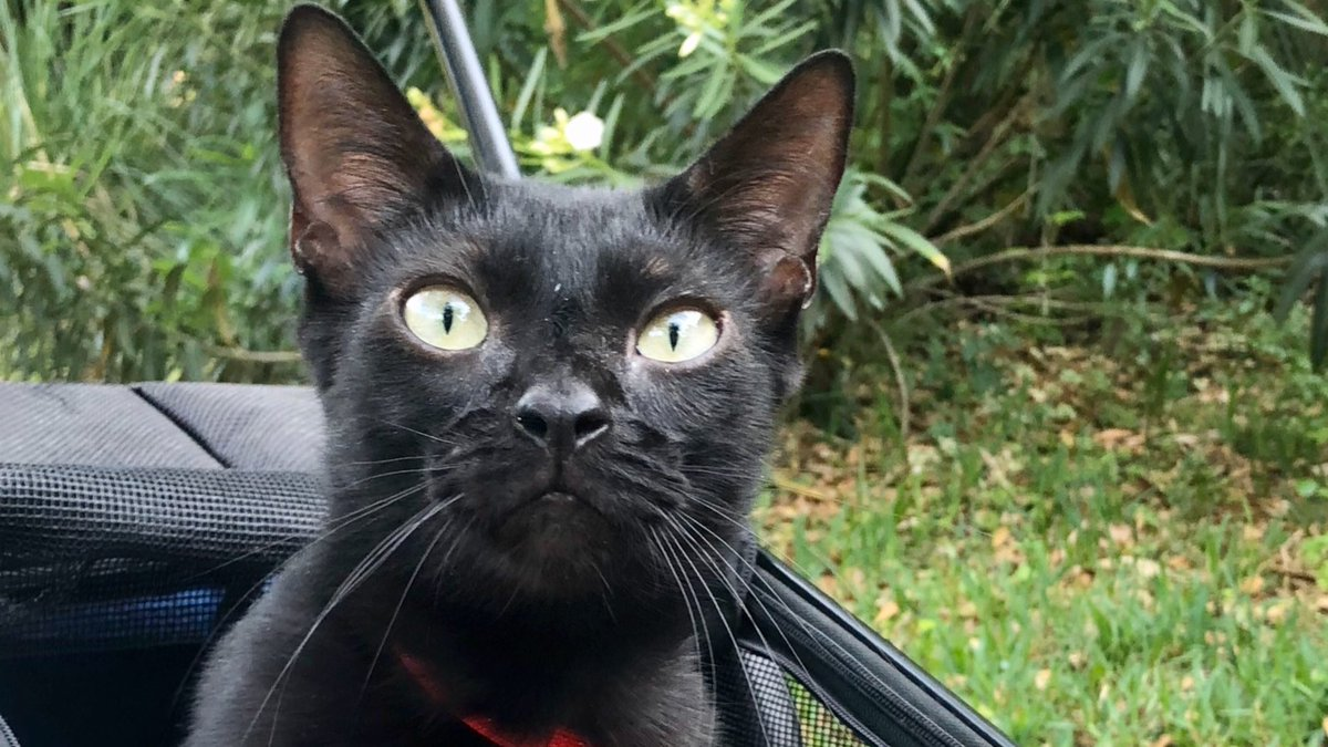 Yes!! Mom took me out for a stroll this afternoon, since we live in a quiet neighborhood. Mom definitely needed the exercise.   #CatsOfTwitter #catsofinstagram #catsofquarantine #cats #cat #AdoptDontShop #blackcatpic.twitter.com/gKqJaI3GGP