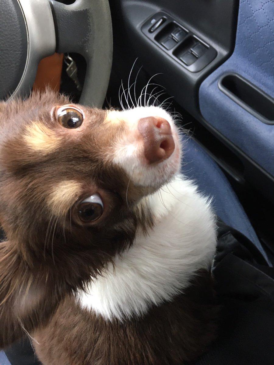 コロナウイルスでドッグランにいけないので、車でドライブさせたら、降りるのが嫌なのか、見つめられ、中々降りてくれませんでした #チワワ #ドライブ #コロナウイルス #ドッグラン pic.twitter.com/ImlRXsrPPX