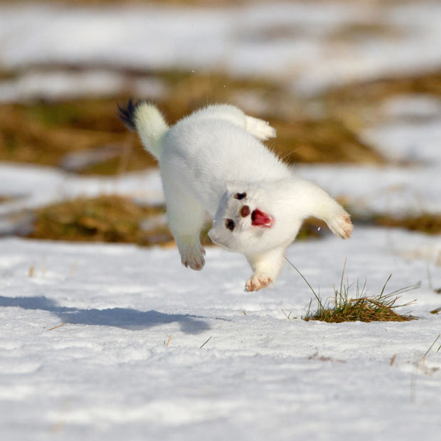 "The stoat, also known as the short-tailed weasel, is nominated among the 100 ""world\'s worst invasive species"" #animal #didyouknow #animales pic.twitter.com/GcLQw5vO55"