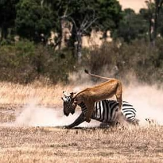 How they hunt, make sure you have an experience of this. Travel with us we will turn your travel dream to a reality. @mara_raha_tours_and_safaris @nyakundi_moke #StayHome #StayAtHome #COVID19Kenya #travelkenya #covid_19 #touristythings #breathtaking #dontrushchallengepic.twitter.com/5hwoPfoBrn