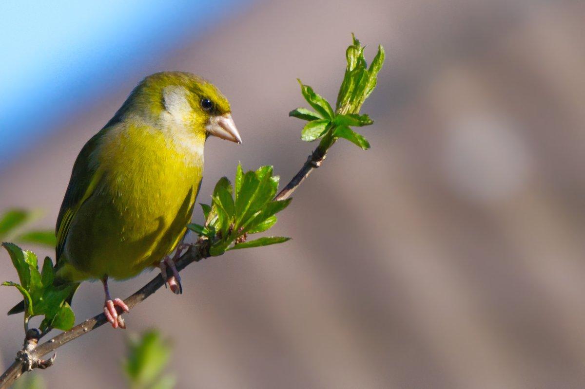 greenfinch #wildlifefrommywindow #nature #wildlifephotography