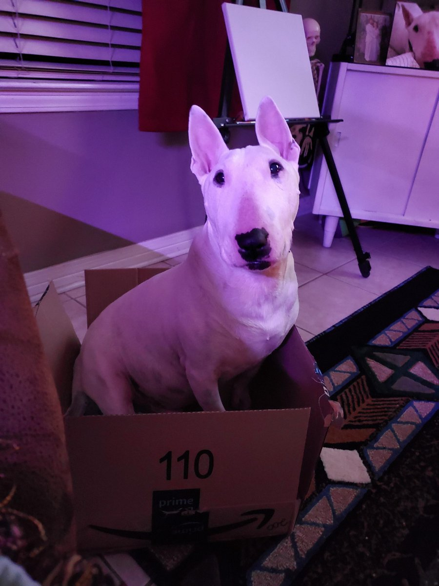 Thought I ordered the mini version, but I guess this one will do haha #EnglishBullTerrier http://UKDogOwner.co.uk/dog-breeds/English-Bull-Terrier …pic.twitter.com/BinMKer5FB