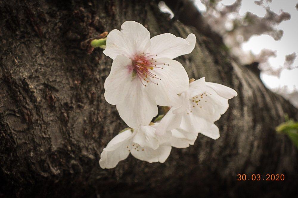 2020年3月 Tokyo Nikon P310  今日の桜🌸 昨日は雪がたくさん降ってきてビックリ&寒かった。  #写真 #photo #キリトリセカイ #スナップ写真 #coregraphy