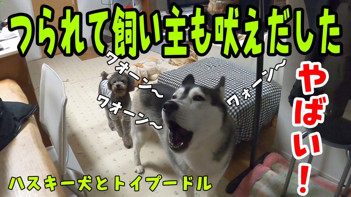 はっちゃんに釣られて吠えてしまった飼い主ワォーン 遠吠え 動画はyoutubeで公開中です。    #シベリアンハスキー #ハスキー #SiberianHusky #puppy  #Husky #funnydog #プードル