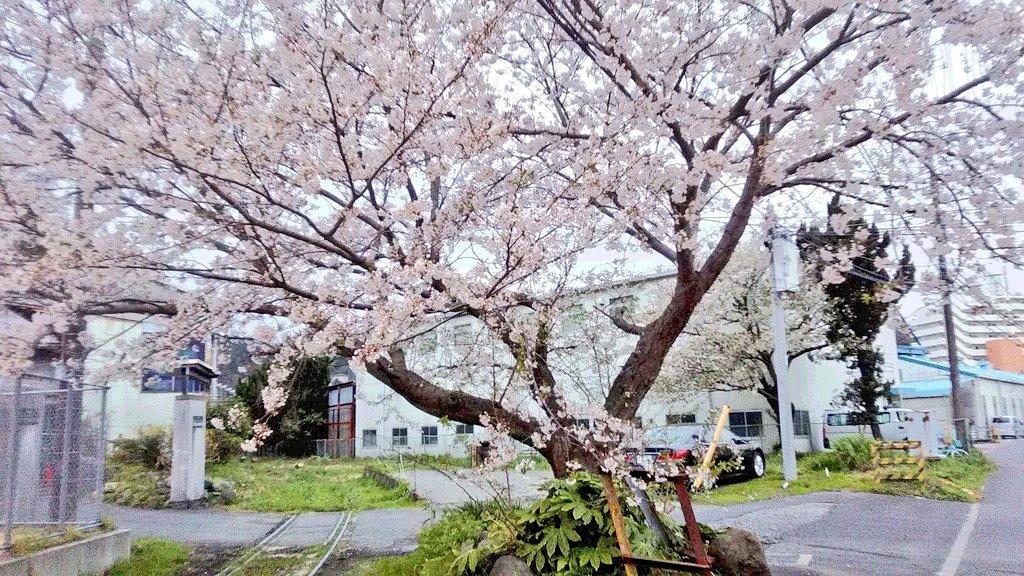 かつて これほど寂しい桜の季節があっただろうか・・・ #田浦 #YOKOSUKA #横須賀pic.twitter.com/KK9qcODYNb