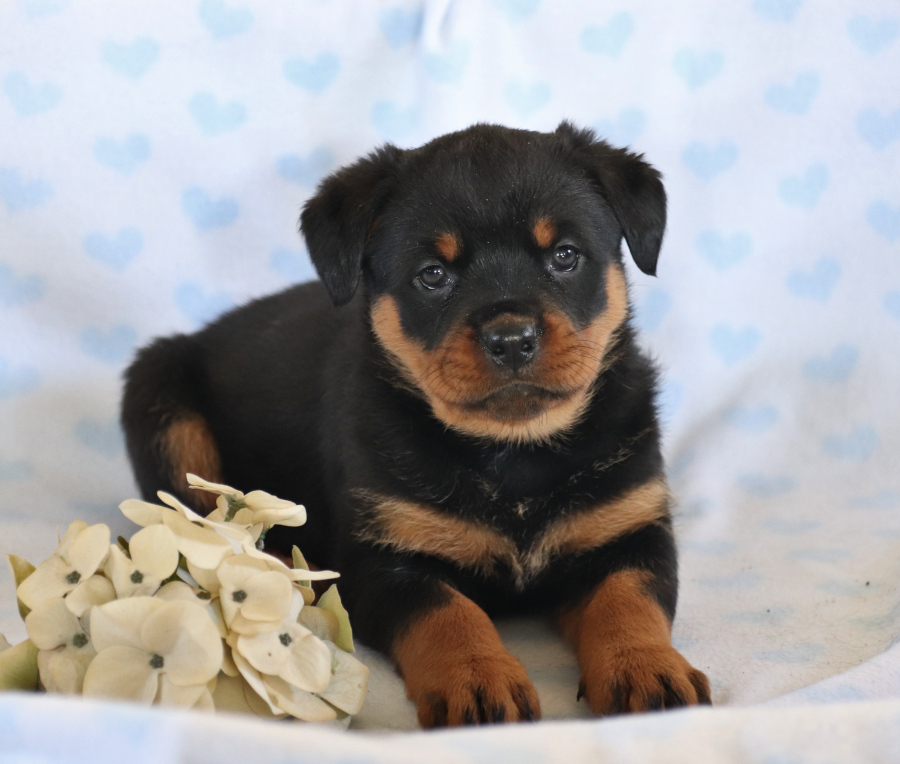 💙😄 Meet #Handsome #Rottweiler puppy Heidi!! She will win your heart with her #Sweet personality and funny #Playful actions. • •  • #PuppiesOfTwitter #LancasterPuppies
