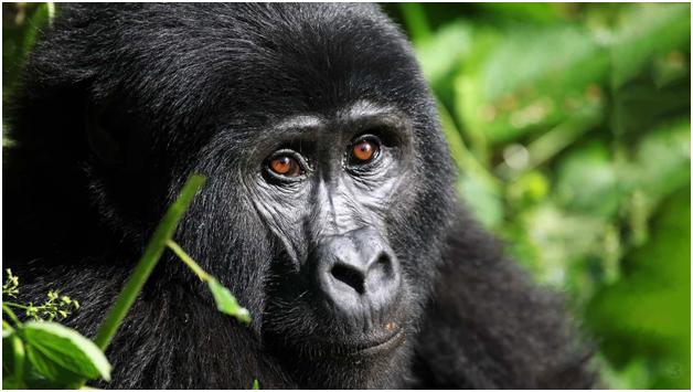 Eyes speak a lot they say, can you hear them speak? Gorilla Trips will take you in the memorable Gorilla Trekking. Visit us @https://www.gorillatrips.net/ #ugandasafari #ugandasafaris #ugandasafaritour #ugandasafaritourexperience #ugandasafaripackages #ugandasafaristours https://t.co/Nb9FKlGLEa
