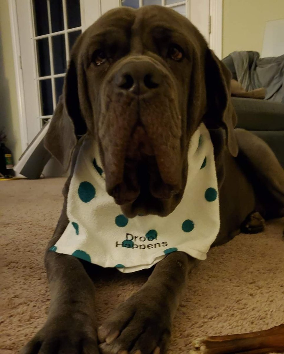 It's Giggsy wiggsy birthday! I wonder which horror film she will choose today!? We love you, big girl! #5yearsold #neapolitanmastiff #xlbreed #giggsthedog #dogswatchinghorror #dogs #furderino #furchild #happybirthdaypic.twitter.com/snW6O7GuCt