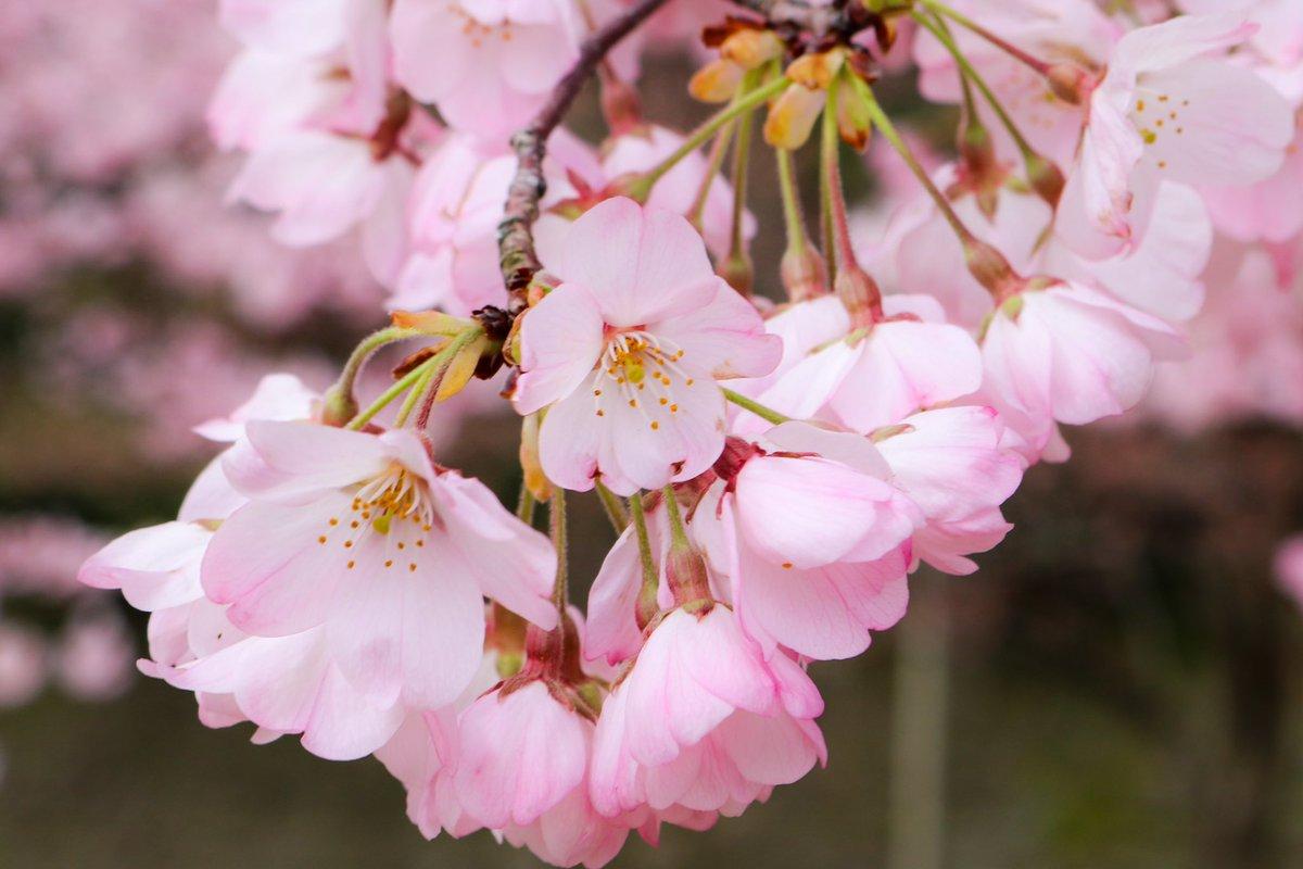 Cherry blossom  #桜 #旅好きの人と繋がりたい #旅 #travel #trip #旅行 #一眼レフ高校生 #Canoneoskissx8i #自然 #観光 #JAPAN #石川県 #金沢 #ishikawapic.twitter.com/rguKVpLL1M