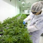 Image for the Tweet beginning: Some cannabis businesses add employees,