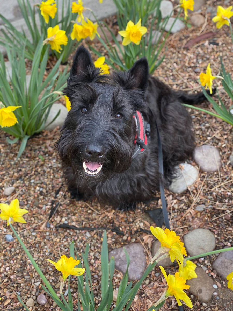 Some days you just have to create your own sunshine.  What is your favorite spring flower? #daffodils #happymonday #Sunshine #Springday #beautiful #dog #flowerspic.twitter.com/Mqo7PNJ7Ql