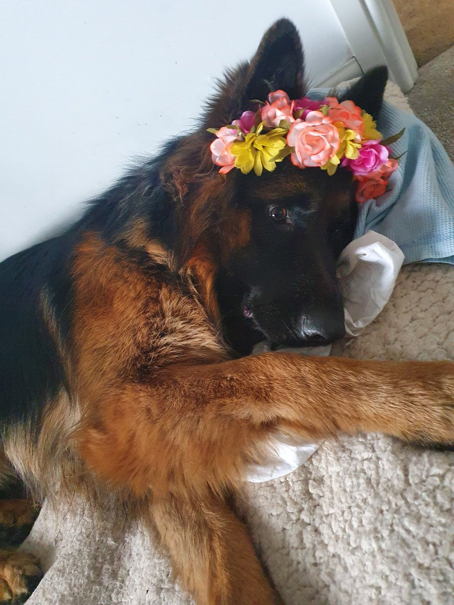 I just found Riker attempting to eat my floral headband. I decided to show him how it is meant to be used. Doesn't he look pretty #handsomedog #toocute #donteateverythingpic.twitter.com/tVWXfI52EI
