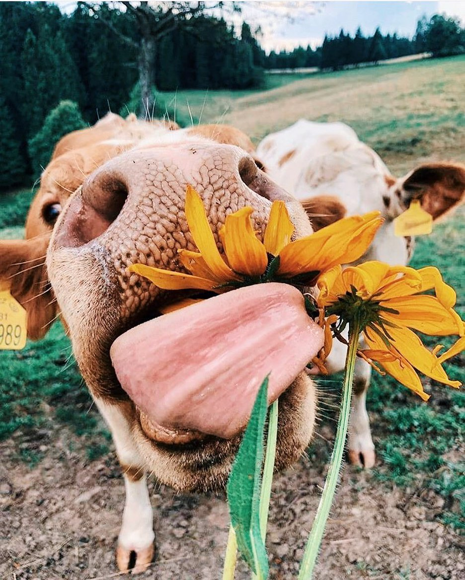 Tongues out Monday, but make it flowery • • • #cows #nature #animals #cattle #farm #cute #art #moo #animal #MILKpic.twitter.com/SKcQh3npJS