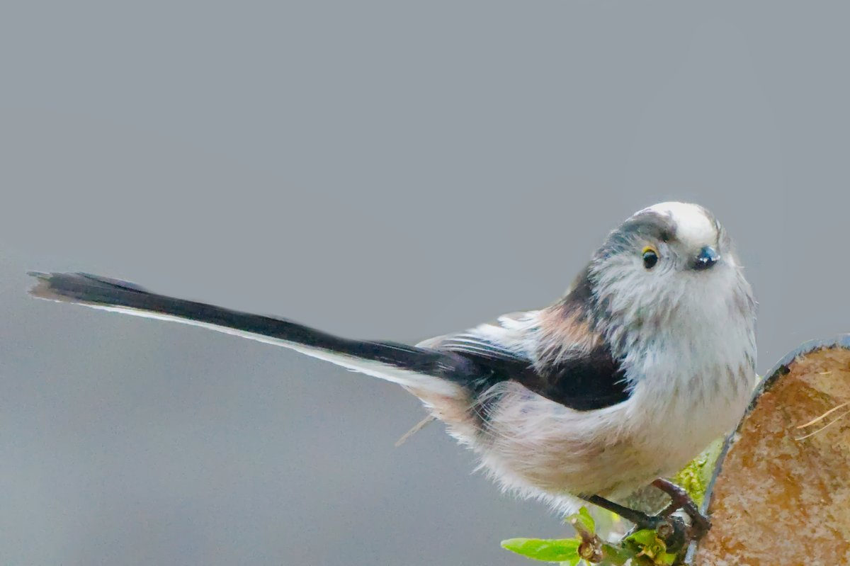long tailed tits back again today and I think their getting used to me #wildlifefrommywindow #wildlife #nature #Lincolnshire pic.twitter.com/a84pI90hLN