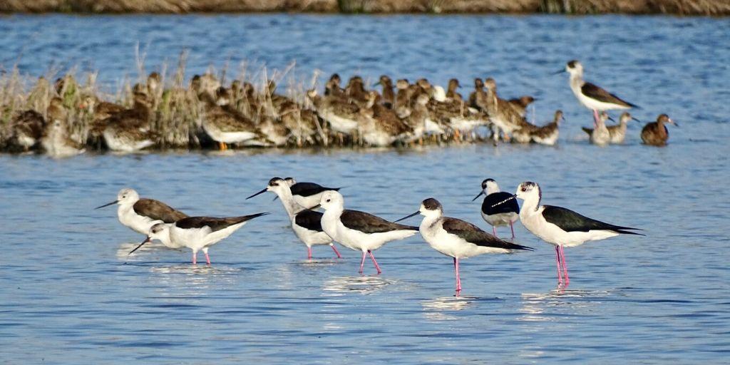 Sörf okulları,plaj ve eğlence hayatıyla bildiğimiz Alaçatı'nın eşsiz bir doğal güzelliğe sahip olduğunu biliyor muydunuz? 100'den fazla kuş türünün sığınağı Alaçatı Azmağı flamingo, lara leylek gibi türlerin beslenme alanı;aynı zamanda uzunbacak, angıt gibi türlerin üreme alanı. pic.twitter.com/Nn7QZCyOeT