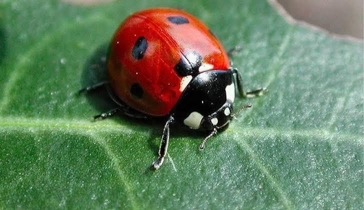 Uğur böceği tarladaki bitlerle beslenir. Uğur böceği'nin bol olduğu sene  mahsül'de bol olur. Bu yüzden O'na insanların Uğur Böceği dediğini biliyor muydunuz? pic.twitter.com/6X1Wp55rQx