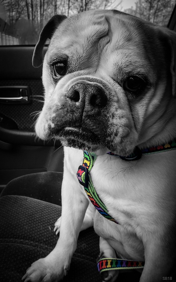 Sweet Maggie  #petsofinstagram #furbabies #love #bulldogs #englishbulldogs #animals #dogs #pets #lgbtpride #lgbtqartist #gaypride #lgbtpetspic.twitter.com/HvNp9d7iz6