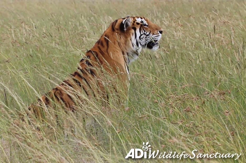 SASHA PROWLING THROUGH THE GRASS: It's a long way from a bare circus cage in Guatemala. Sasha is one of 12 #tigers & 5 #lions relocated to the #ADIWildlifeSanctuary in January after an 18 month #ADI operation assisting officials enforcing the country's #animal #circusban.