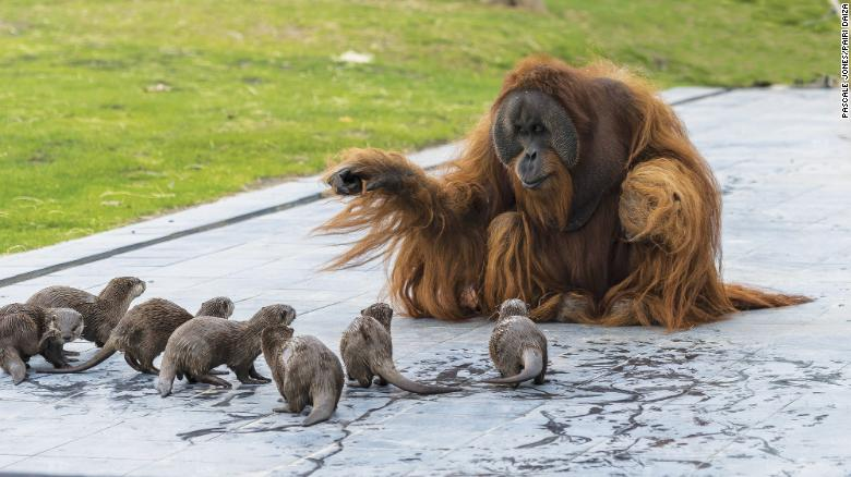 this orangutan telling a thrilling story to an entranced audience of otters