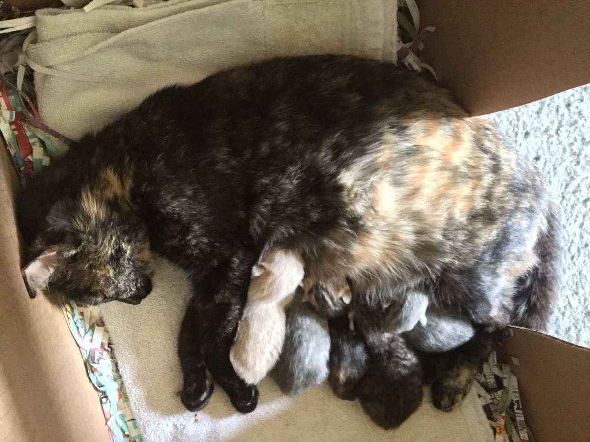 So my #grandfather called last night because the stray cat he's been taking care of & letting in randomly started giving birth...  So that's why I am not randomly @Twitch streaming today, I was too busy staring at adorable #kittens~💕💕
