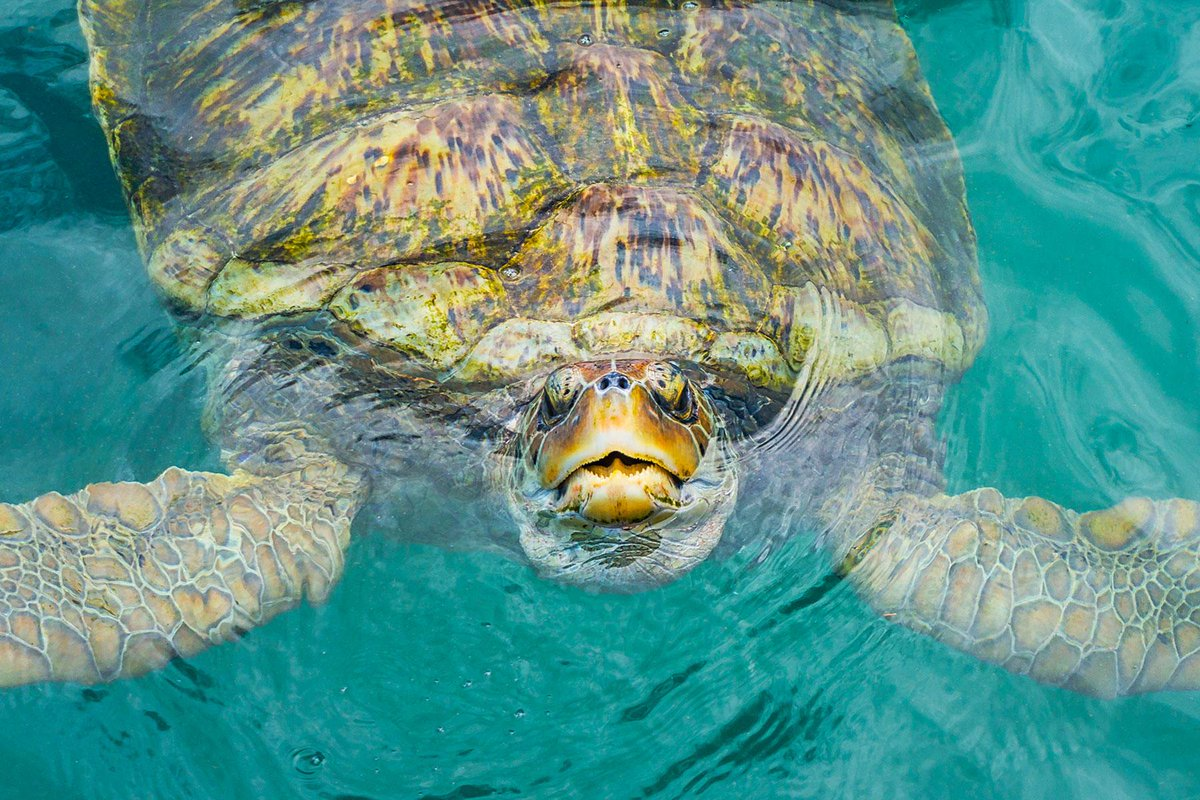 From snorkeling to diving, swimming with these guys will be one of your favorite experiences.🐢  #SouthBayBeachClub #GrandCayman #Turtle #Travel