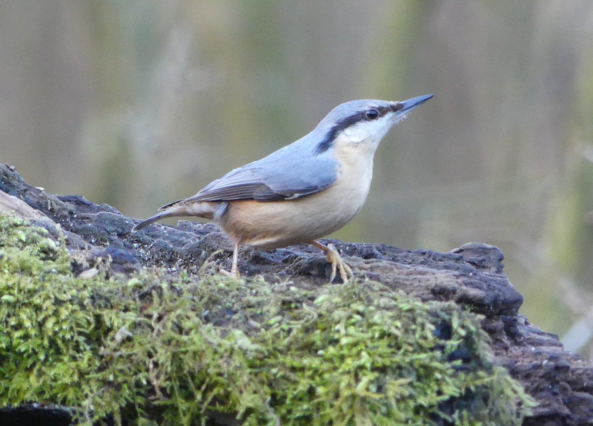 Nuthatch at Cromwell Bottom LNR. Taken in February. #birdtherapy #TwitterNatureCommunity #wildlife #wildlifephotography #nature #NaturePhotography #birds #birdphotographypic.twitter.com/XZd6lb15kD