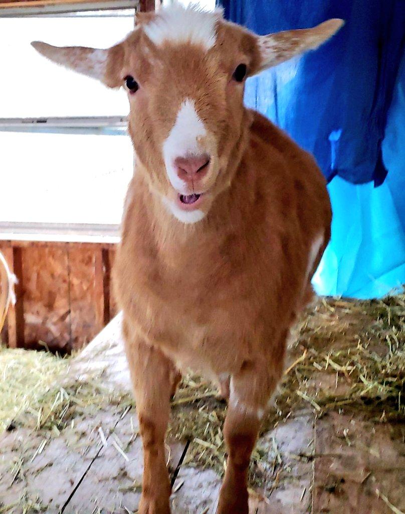 Hellooooooo #goats with a #happy face pic.twitter.com/wUCI4xwSBv