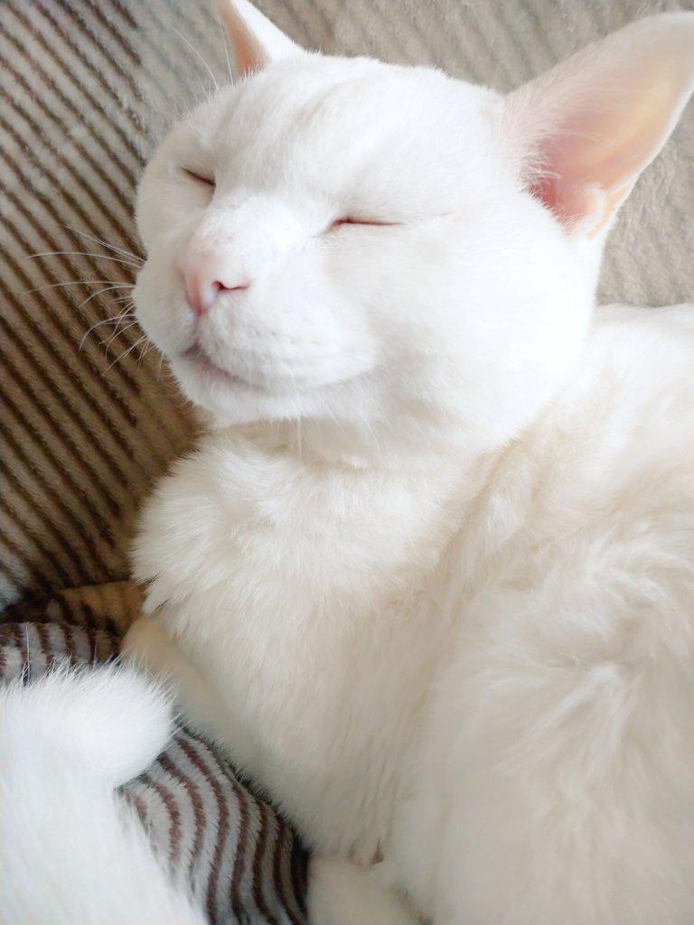 今日のジョニーさん  おじいちゃんは眠いのじゃ  お天気がコロコロと変わるので体がダルそうです。 体の小さな動物達は、気圧や温度の変化で体調を崩しがちなので、気を付けないといけませんね。  #シニア猫 #猫リンパ腫 #猫好きさんと繫がりたいpic.twitter.com/tvxbYEjMua