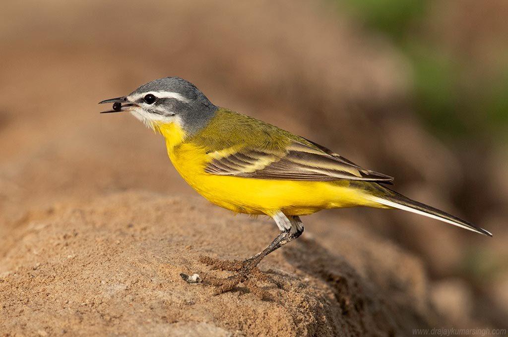 Yellow Wagtail, March 2020, Bahrain #WesternYellowWagtail #wildlife #bahrain  #YellowWagtailpic.twitter.com/vUOxjxnr29