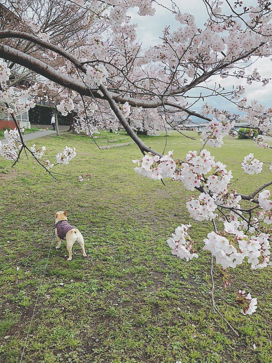鴨川の桜は今が満開!!  あんまり綺麗なので ちょっと寄り道…  #春 #桜 #おはようございます #鼻ぺちゃ #フレブル #フレンチブルドッグ #京都 #ブヒ #犬との暮らし #犬と桜pic.twitter.com/drNDLjcfRw
