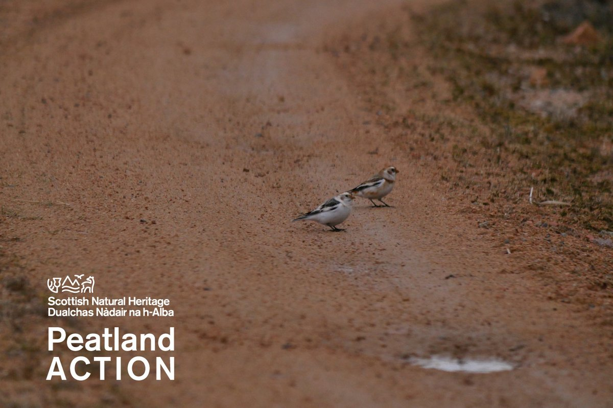 One of our #PeatlandACTION officers spotted these lovely snow buntings on a track at Forsinard Flows before the #lockdown.   #StayHome #StayLocal @RSPBNorthScot    Gearoid Murphy/PeatlandACTION @nature_scotpic.twitter.com/mcLUoAhCf1