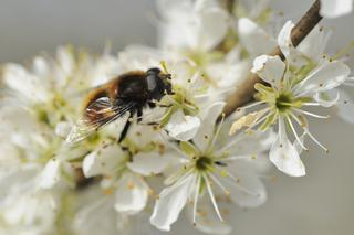 How's the hawthorn looking in your garden, or on your local stroll? Hawthorn is very temperature sensitive, so depending on where you live & what spring temperatures are like, the leafing & flowering date can vary year on year. Loved by our  #pollinators. #NatureScot #staylocal pic.twitter.com/8Z1hs7H75l