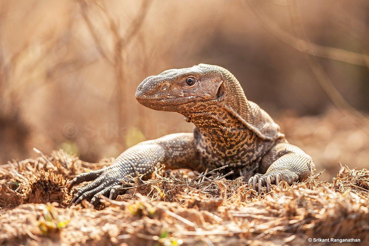 A #MonitorLizard peeps out of its hole.  #wild #animals #wildlife #srikantclicks #natgeo #yourshotphotographer #shotoftheday #clickoftheday #picoftheday #photooftheday #wildlifephotography #IncredibleIndia  http://srikantclicks.com http://instagram.com/sriks_r http://facebook.com/srikantphotography…pic.twitter.com/GaJKikpsxM