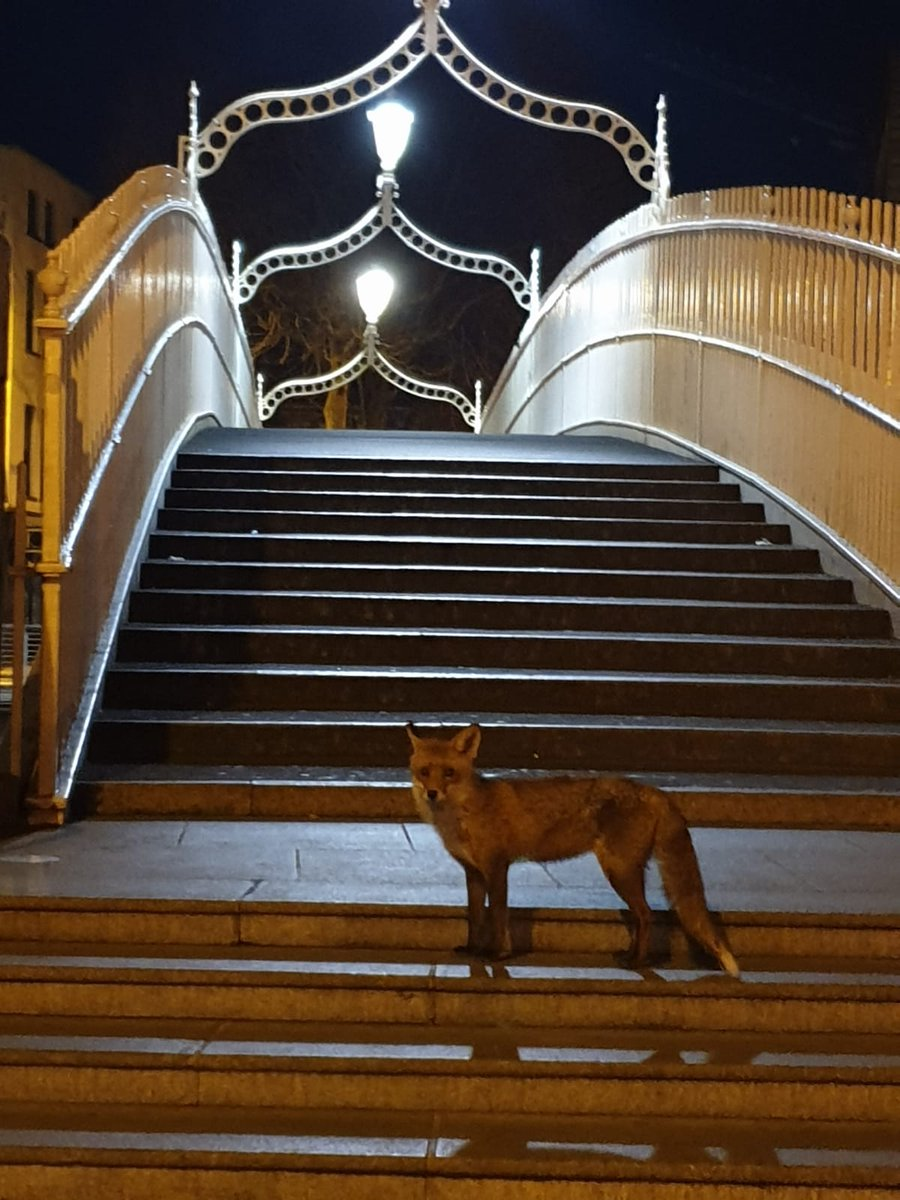 I love this.... Gardai took a photo of a fox on the Hapenny Bridge in Dublin last night. Probably wondering where all the loud people have gone to? 🤔🤔🦊 #StayAtHomeSaveLives