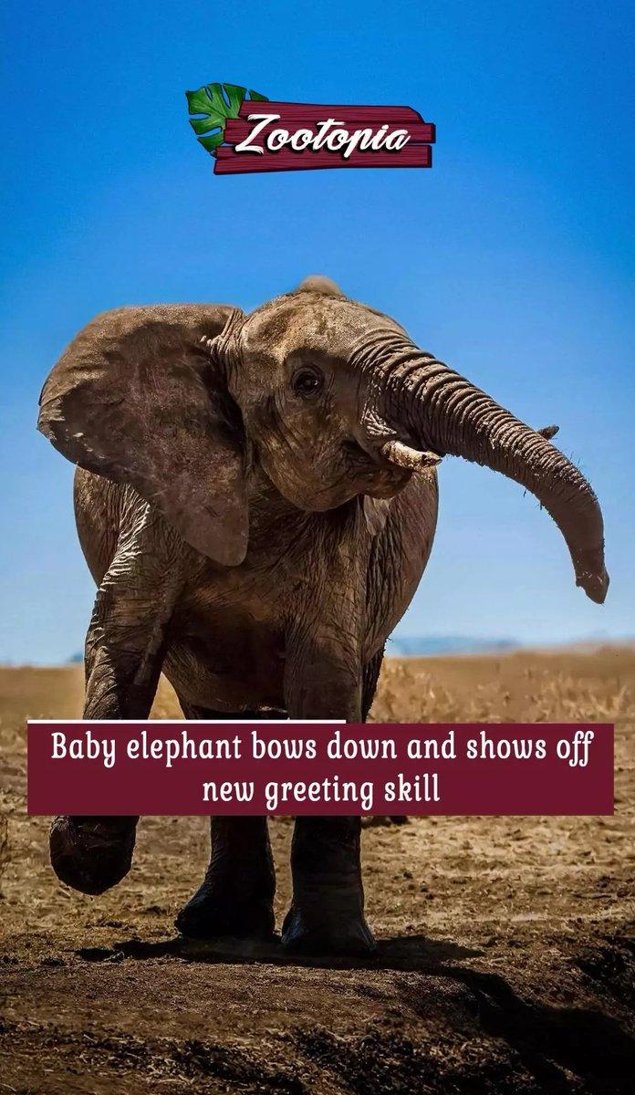 Baby elephant learns to say 'hello' #Hello #BabyElephant #Zootopia #glance #photographypic.twitter.com/ukoRlfsg9K