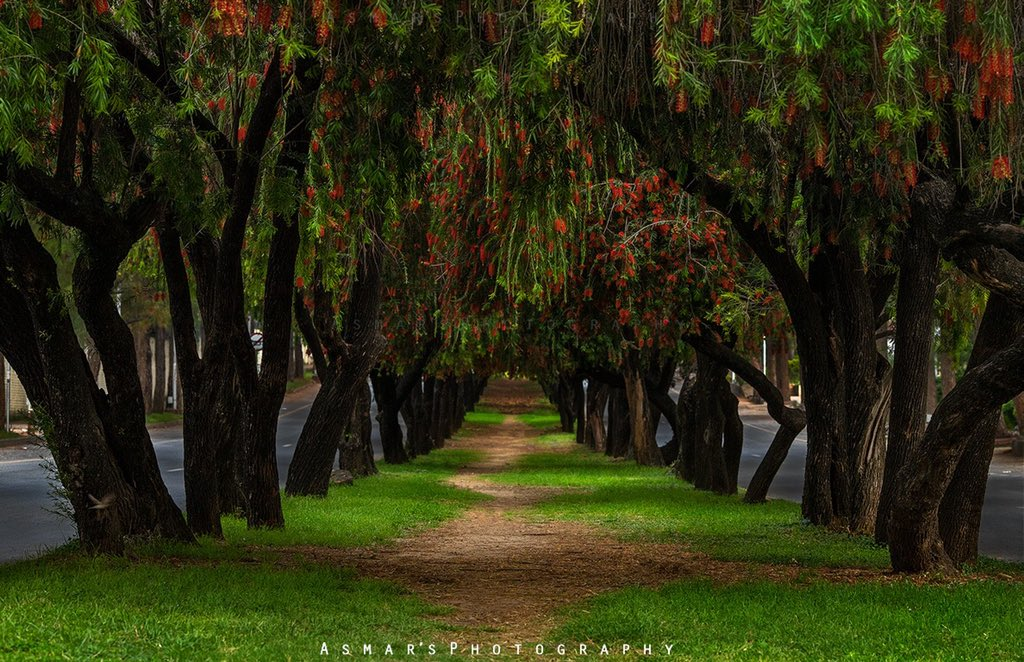 #Beautiful Spring blossom in Capital city, Islamabad. I like leading lines & paths to be framed. I went for sunrise shots but find no sun so captured these trees. Location is near F6 markaz.   #asmarsphotography #Pakistanpic.twitter.com/mWmKfFW2xq