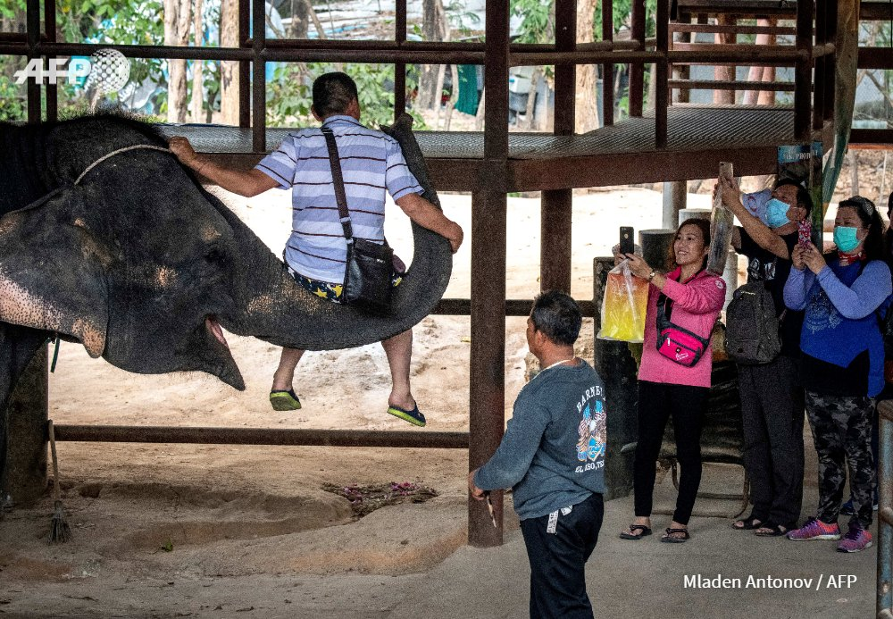 Underfed and chained up for endless hours, campaigners warn many elephants working in Thailand's tourism sector may starve, be sold to zoos or shifted into the illegal logging trade as the #coronavirus decimates visitor numbers http://u.afp.com/3qBU
