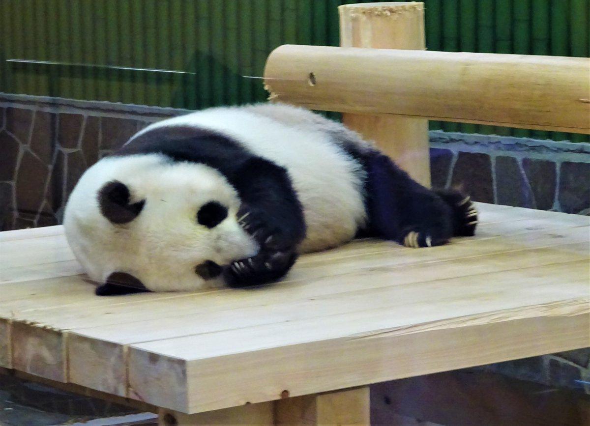 鼻をキュっと包んで眠っています。寝姿もかわいいタンタンです☺️#きょうのタンタン#ジャイアントパンダ #タンタン#神戸市 #王子動物園