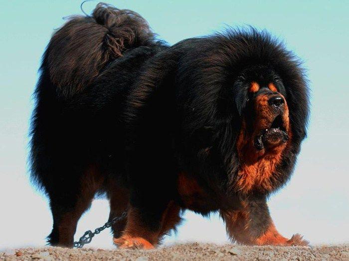 Mastín tibetano, Rottweiler, Shiba inu y Malamute de alaska y mis argumentos son las fotos pic.twitter.com/43YmTf7uxM