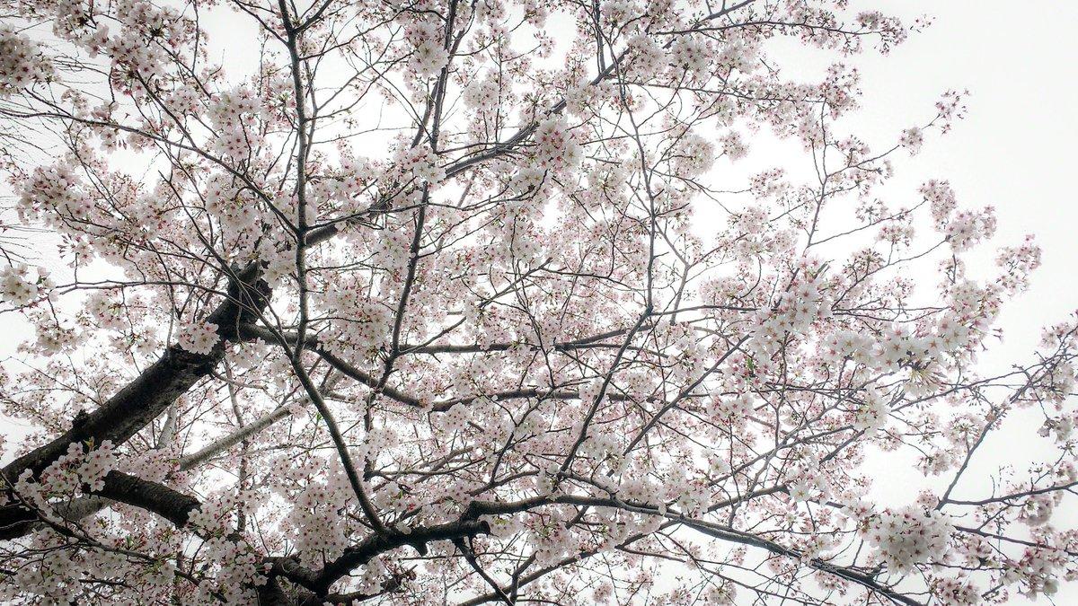 くもり空と桜⁎ .。❀  #イマソラ #東京の空 #Tue.